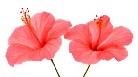 Two pink hibiscus Stock Photography