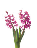 Two pink hyacinth flowers,isolated Royalty Free Stock Photo