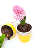 Two pink hyacinths in colorful clay pots Stock Images