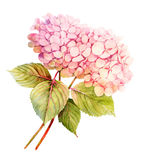 Two pink Hydrangeas watercolor flower illustration Royalty Free Stock Photo