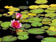 Two Pink Lilies. A shot of two water lilies in a pond with lots of lily pads Royalty Free Stock Photos