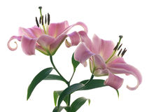 Two pink lilies Stock Photo