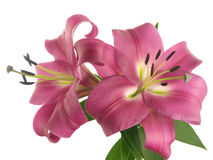 Two pink lilies on branch Stock Photos