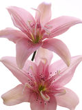 Two pink lilies on white Royalty Free Stock Image