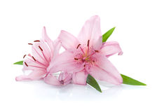 Two pink lily flowers. Isolated on white background Stock Photos