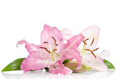 Two pink lily flowers. On white background Royalty Free Stock Image