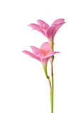 Two pink lily Royalty Free Stock Photo
