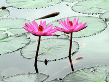 Two pInk lotus Stock Images