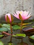 Two pink lotus Royalty Free Stock Photos