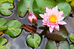 Two pink lotus Stock Image