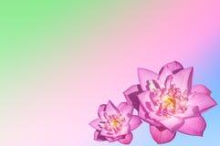 Two pink lotus Stock Photo