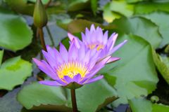 Two Pink Lotus Flowers Royalty Free Stock Images