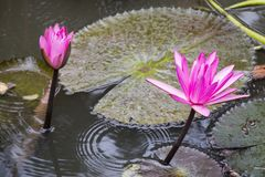 Two pink lotus flowers on water closeup. royalty free stock photography