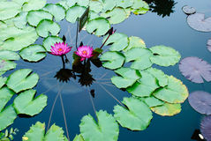 Two pink lotus flowers or water lily among green leaves. Floating in the pond Stock Image