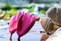 Two pink lotus and lotus leaf on water on nature background,copy space royalty free stock photo