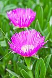 Two pink mesembryanthemum daisy flowers Stock Image
