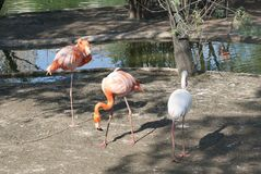 Two pink and one white flamingos. Three flamingos stand in the water, walking along the shore Stock Photos