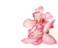 Two pink orchids Stock Photo