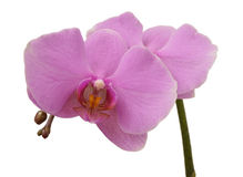 Two pink orchids Royalty Free Stock Photos