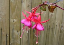 Pink Fuchsia Flowers and Wooden Fence. Two pink and pale purple fuchsia flowers in front of a wooden plank fence stock photo