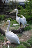 Two Pink Pelicans At The Zoo. Royalty Free Stock Image