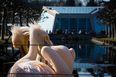 Two Pink Pelicans Together Crossed Necks Royalty Free Stock Image