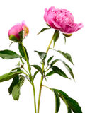 Two pink peonies Royalty Free Stock Photos