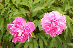 Two pink peonies Royalty Free Stock Photo