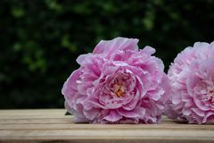 Peonies on a wooden floor in the garden. Two pink peonies on a wooden terrace in the garden in summertime. Green bokeh background Stock Photography