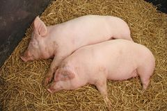 Two Pink Pigs. Stock Photo