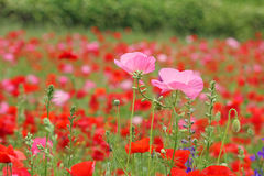 Two pink poppy flowers on red poppy meadow Stock Image