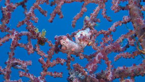 Two Pink Pygmy seahorses. On gorgonian coral stock video footage