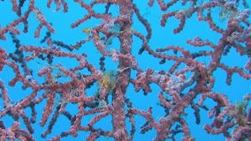 Two Pink Pygmy seahorses. On gorgonian coral stock video