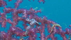 Two Pink Pygmy seahorses. With a porcelain crab on gorgonian coral stock video footage