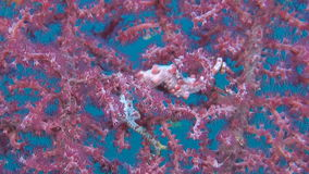 Two Pink Pygmy seahorses. With a porcelain crab on gorgonian coral stock footage