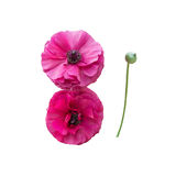 Two pink ranunculus flowers Stock Photo