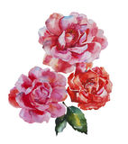 Two pink and red roses flowers original watercolor art isolated Stock Photo