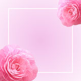 Two Pink Rose Camellia Flowers. Frame, Background. Stock Photos