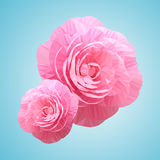 Two Pink Rose Camellia Flowers. Royalty Free Stock Image