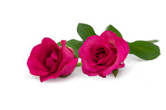 Two pink rose lying down. On a white background Stock Photos