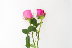 Two pink rose on white background Royalty Free Stock Photos