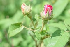 Two Pink Rosebuds Getting Ready to Open Royalty Free Stock Photo