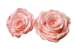 Two pink roses. Close up of two pink roses Stock Image