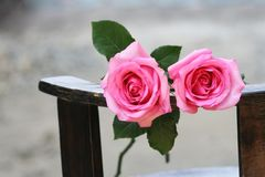 Two pink roses background stock photo