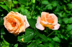 Two pink roses on a background of green vegetation. Two pink roses on a background of green vegetation are shot close-up royalty free stock photography