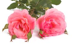 Two pink roses with buds isolated Stock Photos
