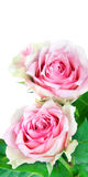 Two pink roses flowers, isolated on white Royalty Free Stock Photo