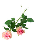 Two pink roses Royalty Free Stock Image