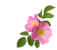 Two pink roses  isolated on white. Royalty Free Stock Image
