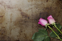 Two Pink Roses on a Metal Background Royalty Free Stock Photo